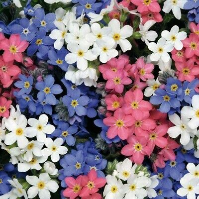 £1.99 • Buy Wild Garden Flower Seeds. Forget Me Not Mix. INC FREE SEED OFFER - See Desc