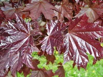 Norway Maple 'Royal Red' / Acer Platanoides 'Royal Red' 3-4ft Tall In A 3L Pot • 25.99£