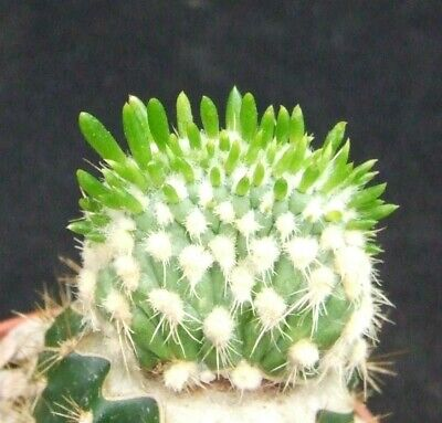 Opuntia Pachypus Cristate Rarely Available 3cm Collectors Peruvian Cactus • 14.48£