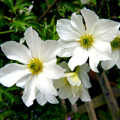 Clematis 'Early Sensation' In 2L Pot, Evergreen Climber With Stunning Flowers • 21.99£