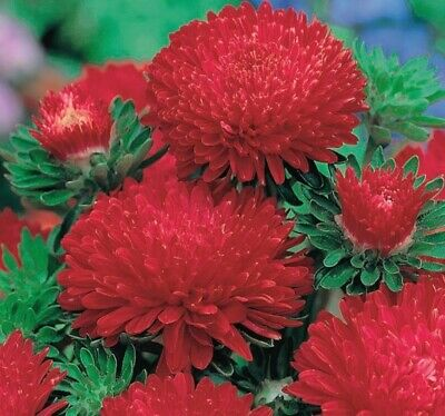 £2.99 • Buy Aster Peony Mix RED & WHITE Flowers  -100 SEEDS.