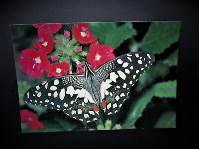 LIME SWALLOWTAIL  (Papilio Demoleus) - Edinburgh Butterfly Farm- Large Size Card • 3.99£