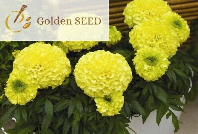 40 Seeds Yellow African Marigold Home Gardening Flower Plant Annual Potted Plant • 1.22£