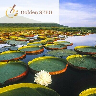 $ CDN3.03 • Buy 5 Seeds Victoria Amazonica Giant Water Lily Giant Leaf Rare Lotus Aquatic Plants