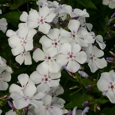 £8.99 • Buy Phlox Paniculata Flame Light Blue  Perennial Potted Plants