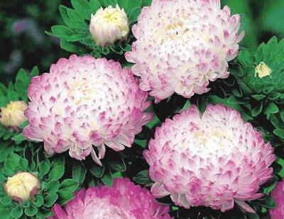 £2.99 • Buy ASTER PEONY Ice Pink Colour Flowers- 50 SEEDS (Callistephus Chinensis) .