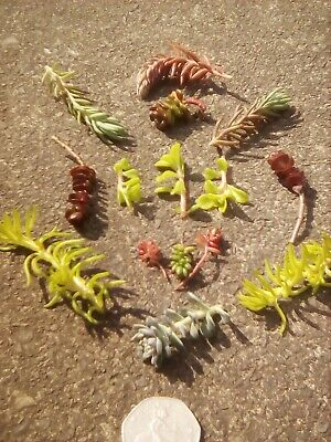£2.85 • Buy 15 Hardy Succulents Cuttings, 7 Varieties, Unrooted