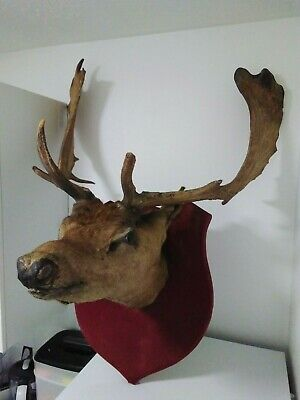 £100 • Buy Antique Taxidermy Stags Deer Head With Antlers Horns Wall Mounted Vintage