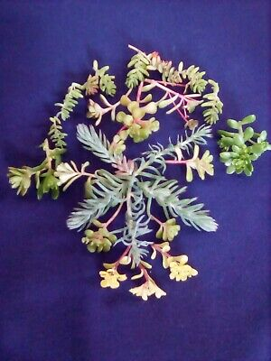 £3.60 • Buy 25 Hardy Succulent Garden Plant Cuttings, Unrooted