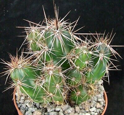 £2.50 • Buy Opuntia Invicta Superb Strongly-spined 8cm Collectors Mexican Cactus
