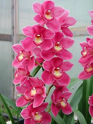 AU11 • Buy Cymbidium Valley Olympic Pink Perfection 68mm Pot ORCHID