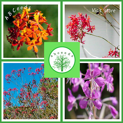 AU3.95 • Buy Crucifix Orchid - Epidendrum Radicans Seeds - Orange, Red, Purple - Small Scoop