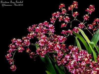 AU25 • Buy Oncidium Twinkle 'Red Fantasy' 100mm Pots ORCHID AON No Blooms