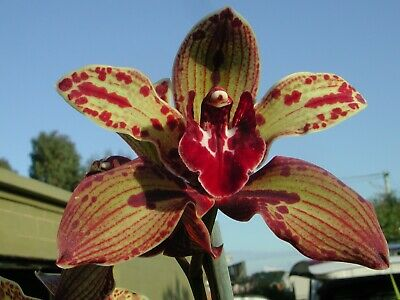 AU19.95 • Buy POST FREE  Cymbidium (Pywacket X Hot N Spicy) 'Galaxy'  Cloned  68mm ORCHID