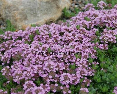200 X Purple Creeping THYME Herb Seeds - Quality Seed From UK Supplier • 2.99£