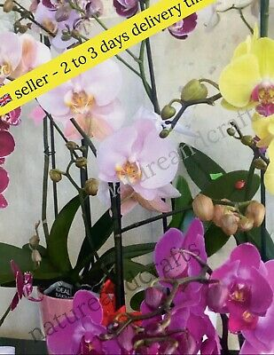 AU12.52 • Buy Orchids Seeds - 10 Top Quality Mix Orchid Seeds