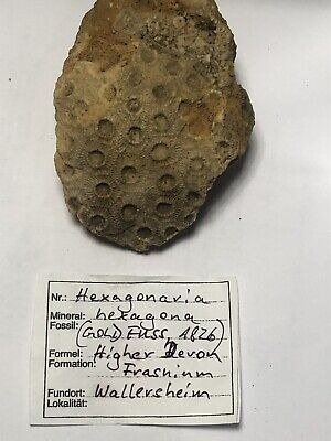 Rare, High Quality Fossil Coral Hexagonaria, Devonian, Germany, Info On Label • 7.99£