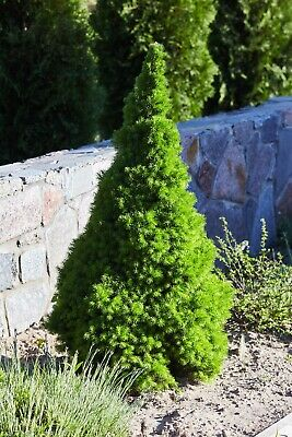 Pot Grown Living Live Small Mini Table Top Xmas Christmas Tree Picea Glauca • 15£