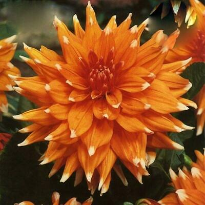 Cactus Dahlia 'Colour Spectacle' W.P.C. Prins Quality Bulbs & Tubers  • 3.99£