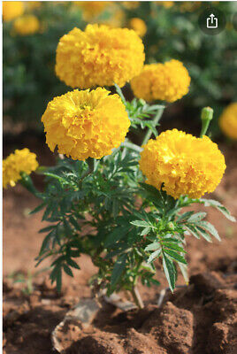 French & African Marigold  Seeds Mixed 100 Finest Seeds Inc FREE Seeds • 1.99£