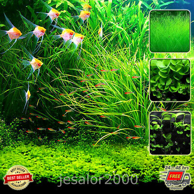 Aquarium Plant Seeds Water Grass For Fish Tank Ground Covering Aquatic Plants • 7.92£