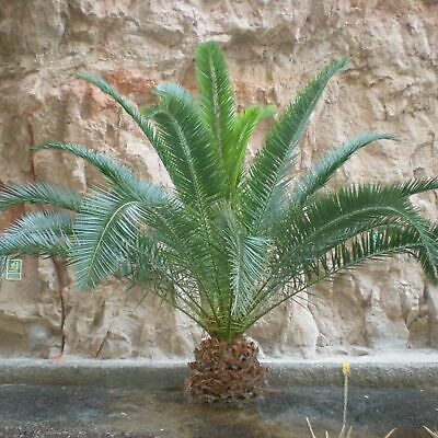£52.49 • Buy 2 Large Tropical Phoenix Canariensis Palm Tree Potted Canary Island 1m Tall