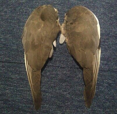 £8 • Buy Real Dried Wood Pigeon Dove Columba Palumbus Wings Bird Taxidermy Curio Feathers