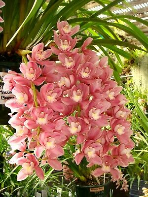 AU16.50 • Buy  Cymbidium Maluka 'Baby Pink'  100mm Pots FRESH 2021 STOCK  Orchid
