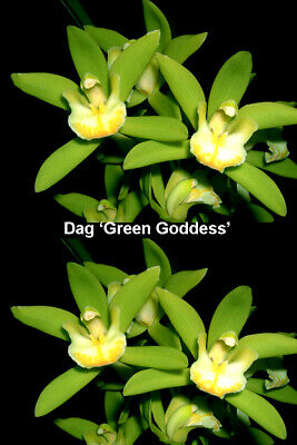 AU11 • Buy Cymbidium 68mm Pot  Cymbidium Dag 'alba  'Green Goddess' Aon Orchid