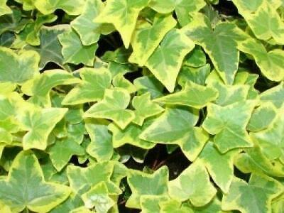£4.95 • Buy Pack X6 Hedera (Trailing Ivy) Helix 'Golden Child'  Perennial Plug Plants