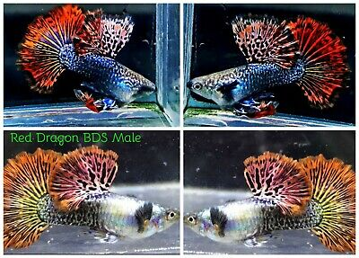 $27.99 • Buy 1 TRIO - Live Guppy Fish High Quality - Red Dragon BDS - USA Seller