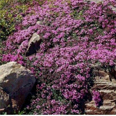 £4.57 • Buy 1800~ Thyme *Purple Creeping*Herb SEEDS  Quality Seed Fast Dispatch Ground Cover
