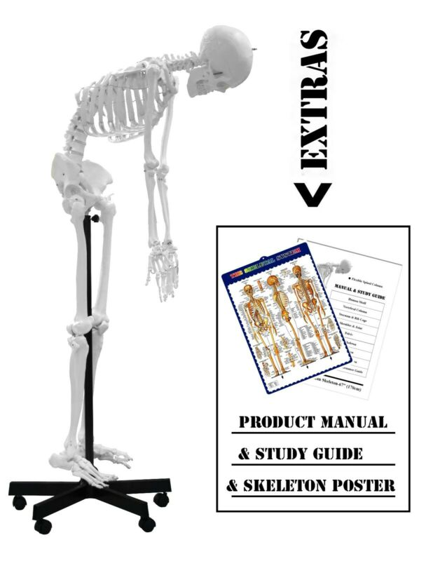 $464.10 • Buy Walter Products B10229 Medical Life Size Plastic Flexible Skeleton Model