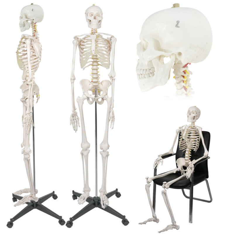 $107.72 • Buy Life Size Medical Anatomical Human Skeleton Model With Rolling Stand 180cm/70.8