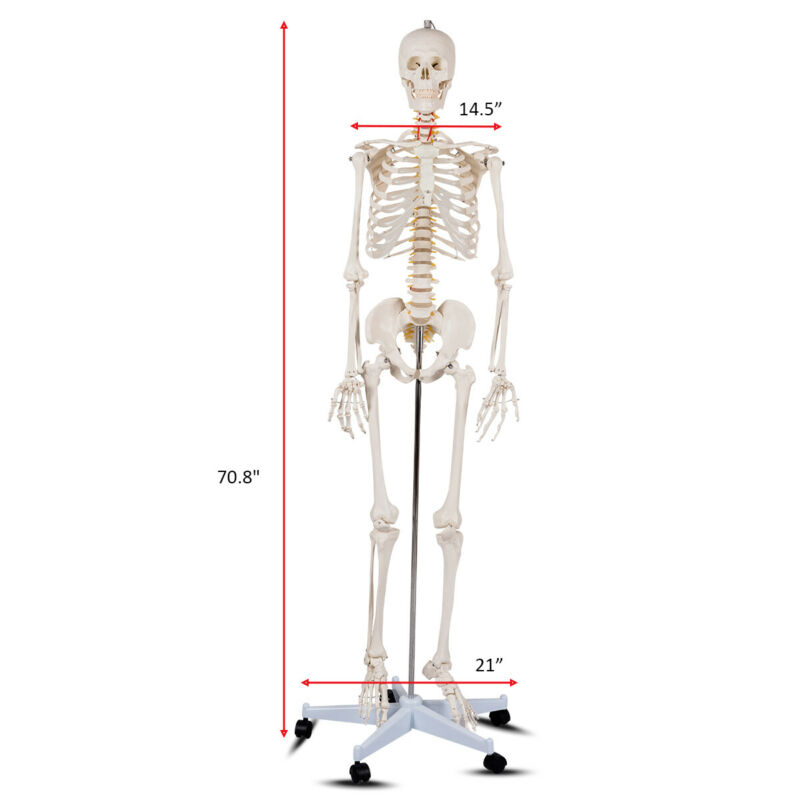 $105.99 • Buy New Life Size Human Anatomical Anatomy Skeleton Medical Model + Stand