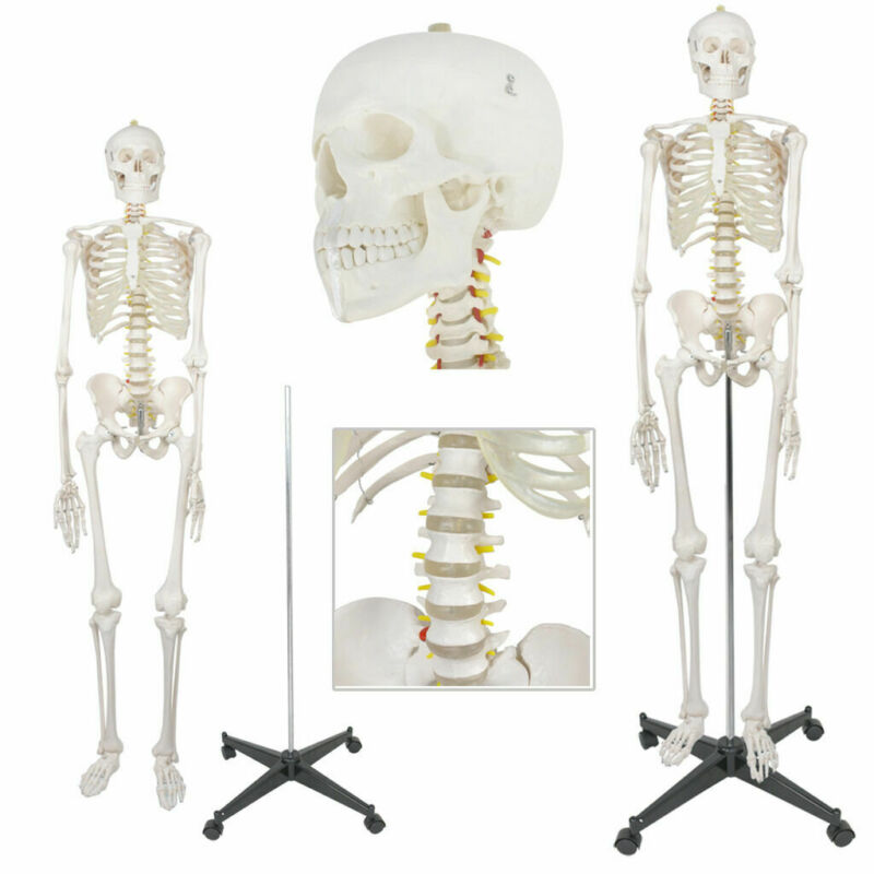 $107.72 • Buy 70  Medical Skeleton Model Life Size Human Skeleton Model For Anatomy Study