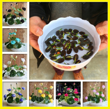 $ CDN2.10 • Buy 5Pcs Bowl Lotus Flower Seeds Water Lily Home Garden Plants Multi-Color Mix NEW