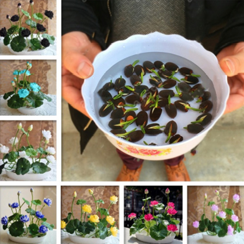 $ CDN0.99 • Buy 10Pcs Lotus Flower Seeds Rare 6 Kind Water Plant Bonsai Hydroponic Garden Hot